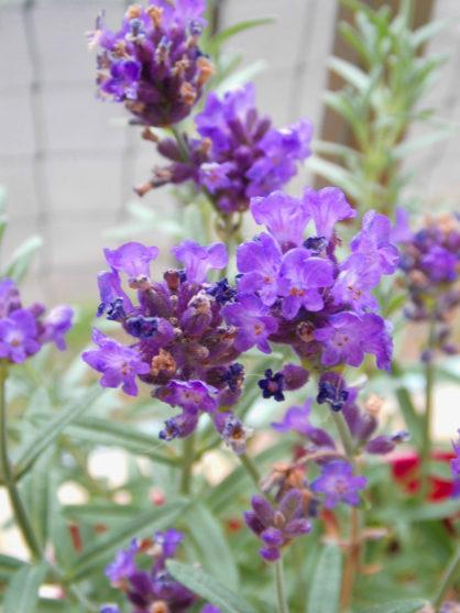 Lawenda – uprawa i pielęgnacja i zastosowanie