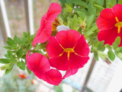 Kwiaty balkonowe - zimowanie