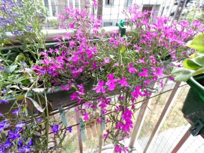 Zimowanie roślin balkonowych